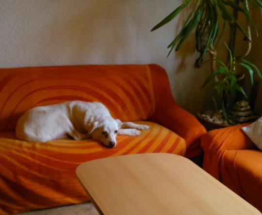 Couch Hund