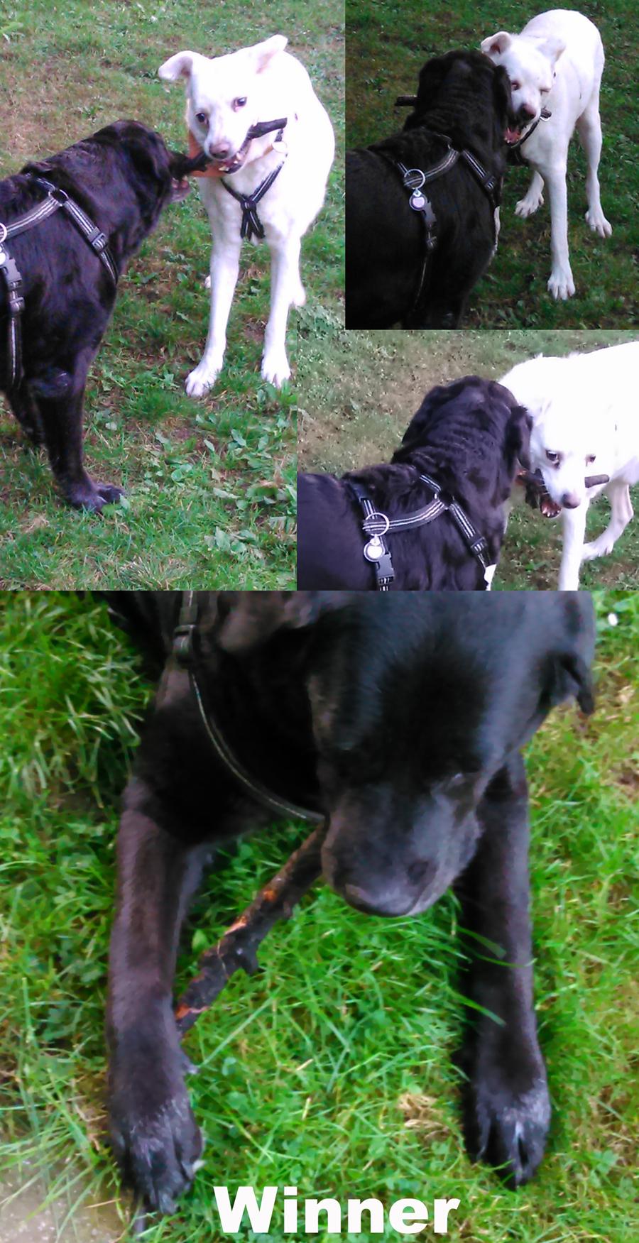 Stockdieb Hund