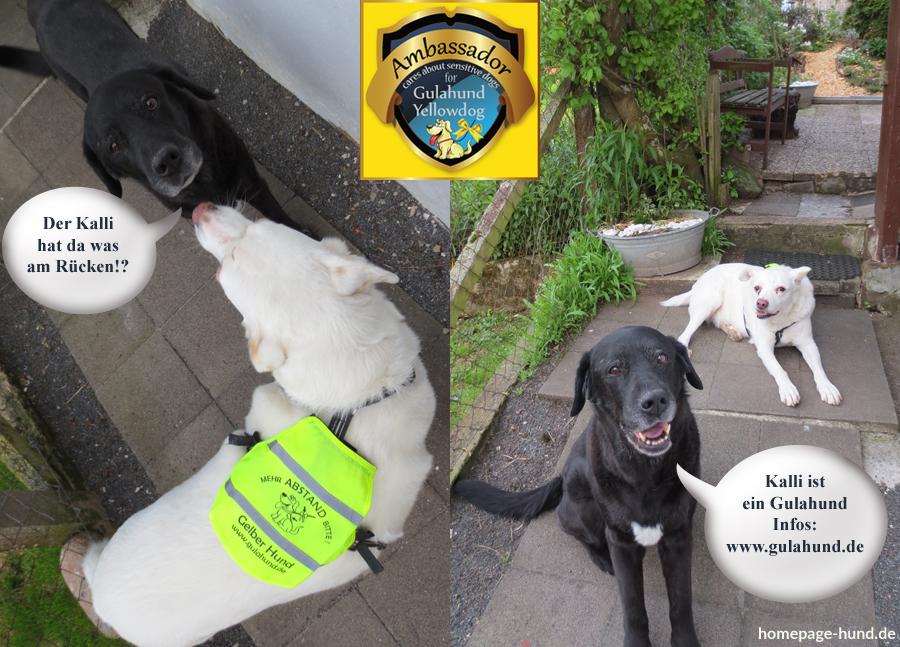 Gulahund - gelber Hund - Yellowdog