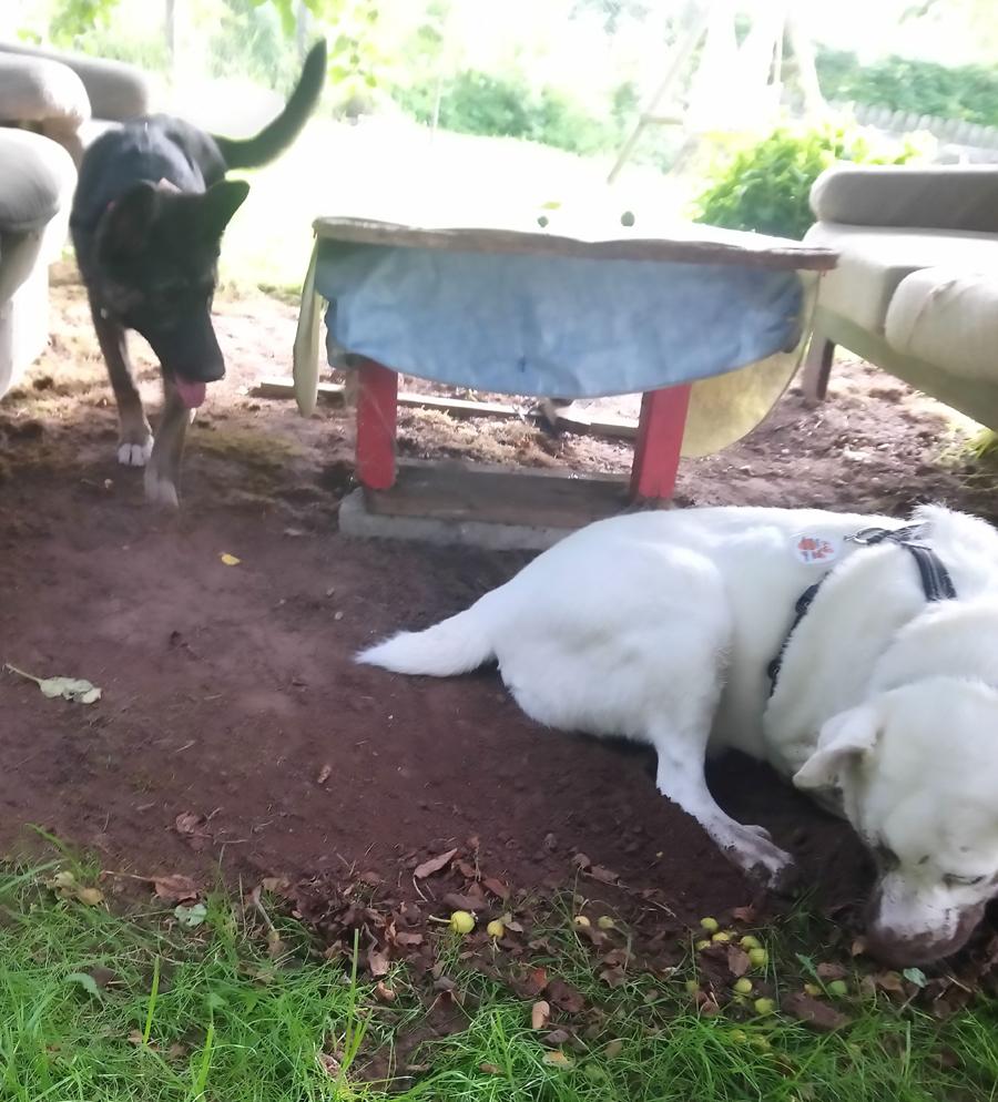 Hund buddelt im Garten