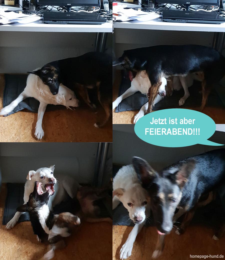 Hunde spielen Büro