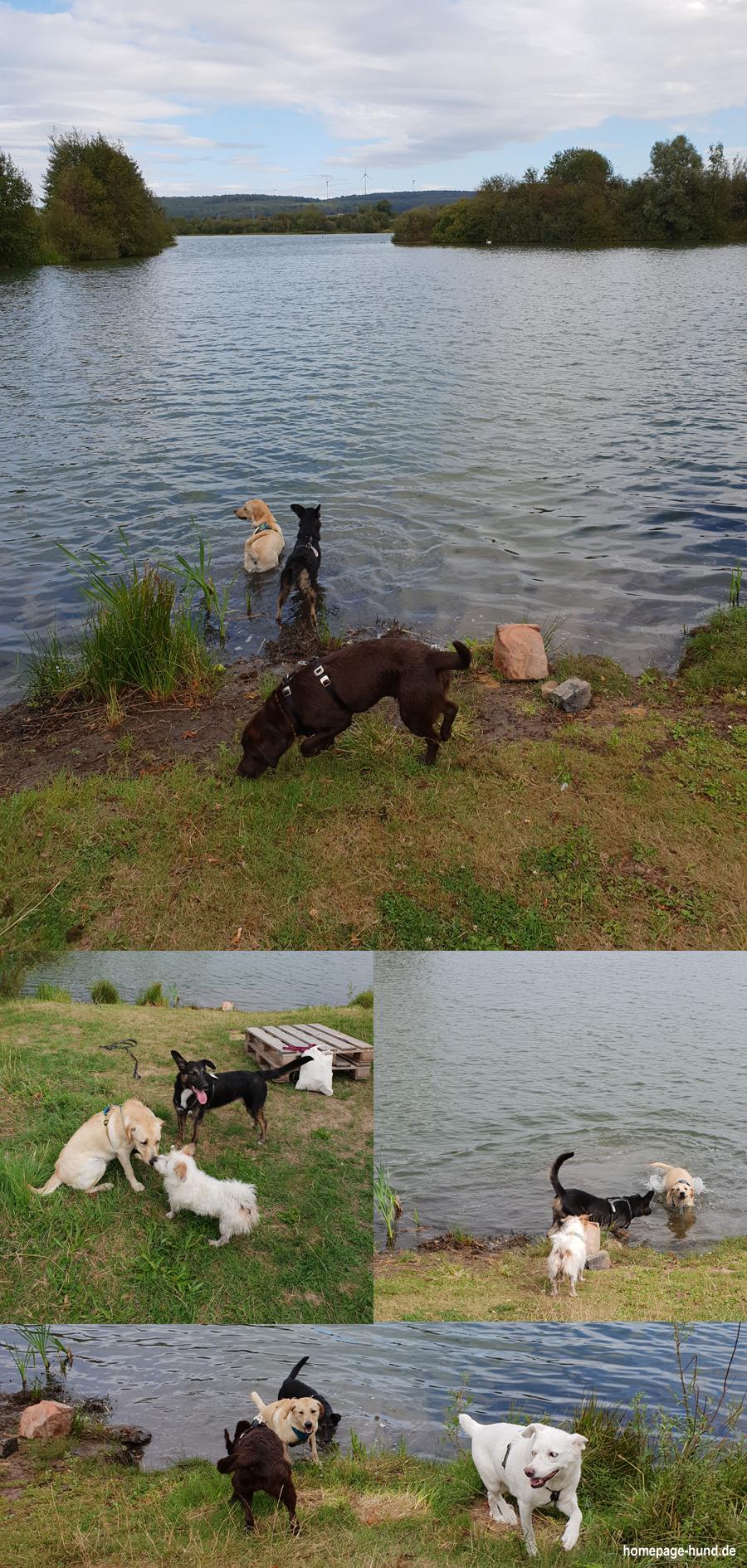 Hunde schwimmen am See