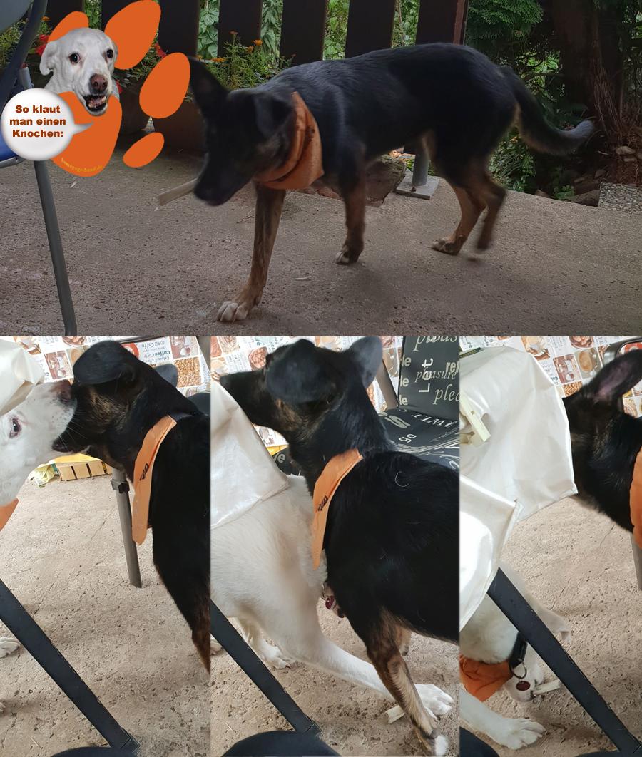 Kalli Hund klaut den Knochen