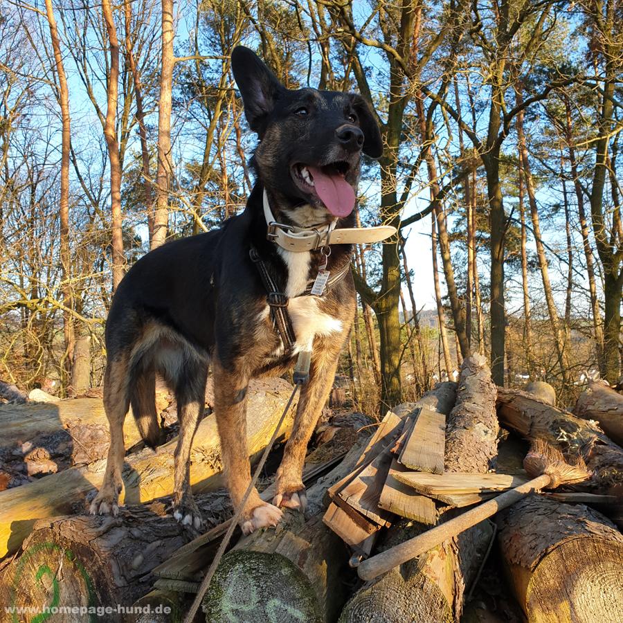 Hund auf dem Holzstapel