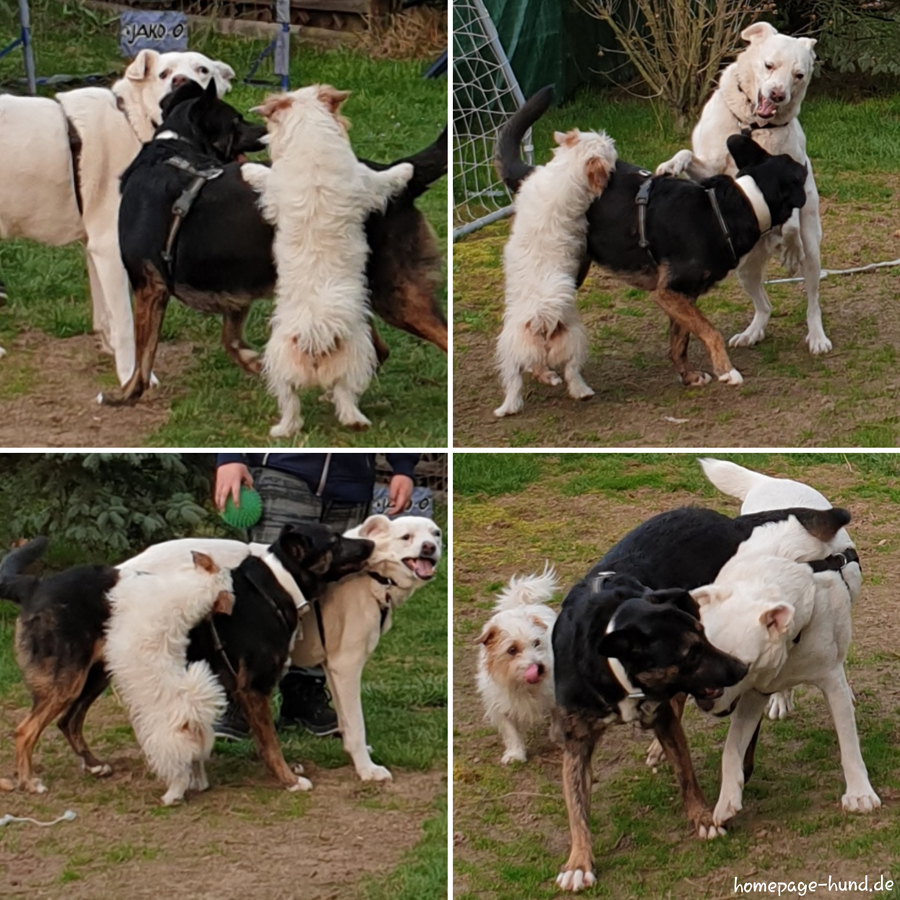 Tierschutzhunde beim Spiel