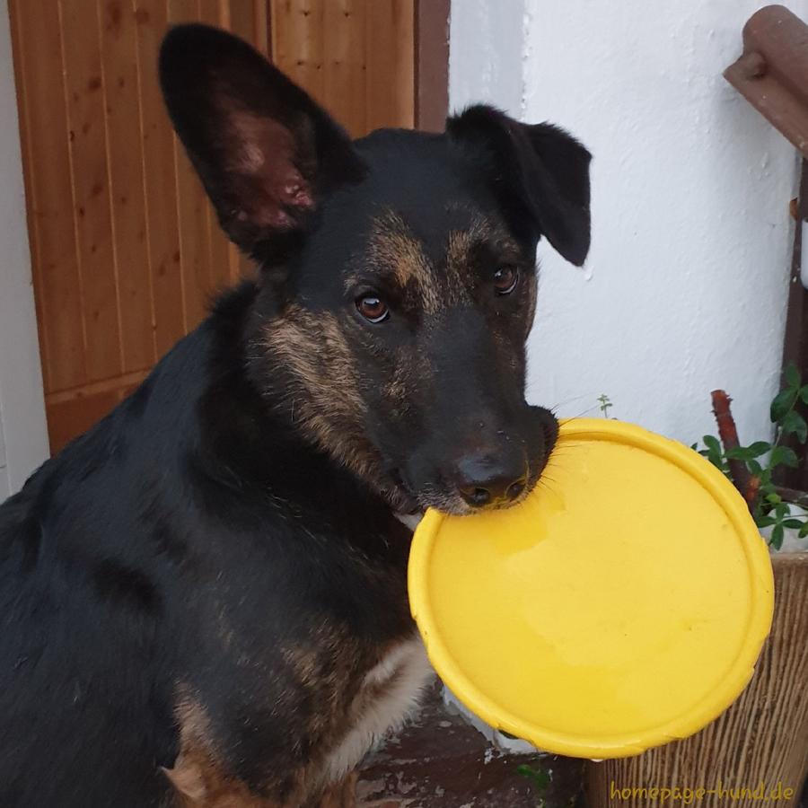 Dog Frisbee Hunde