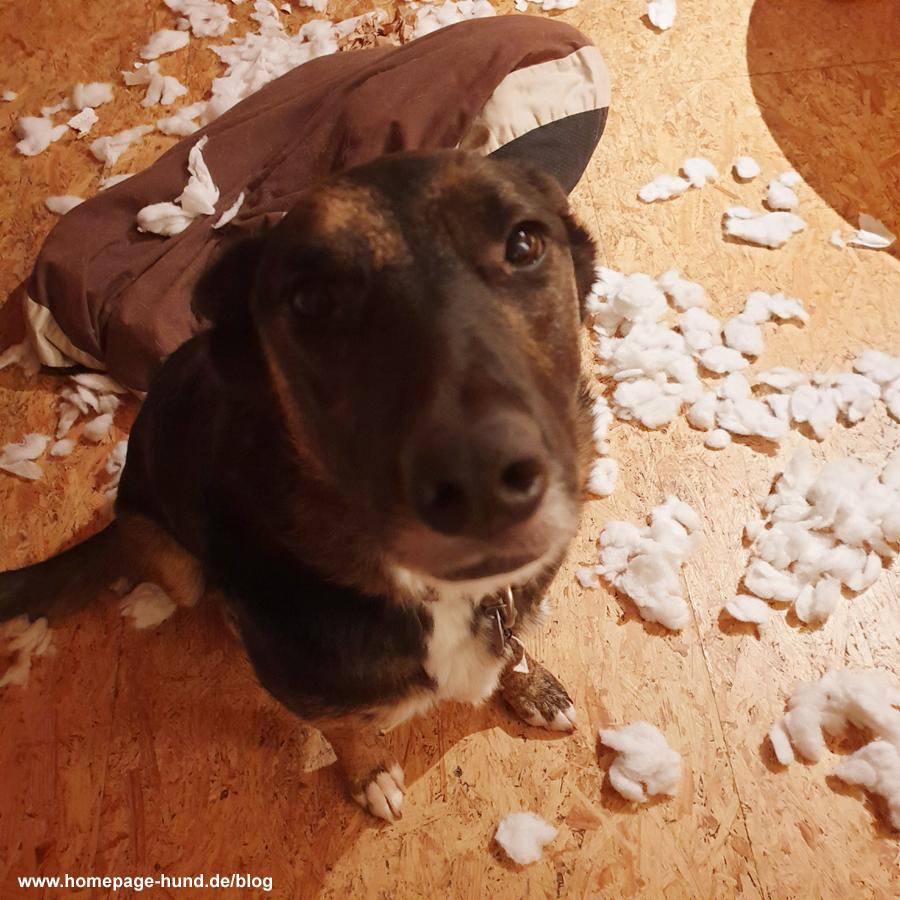 Dorchen mit zerpflücktem Hundekissen