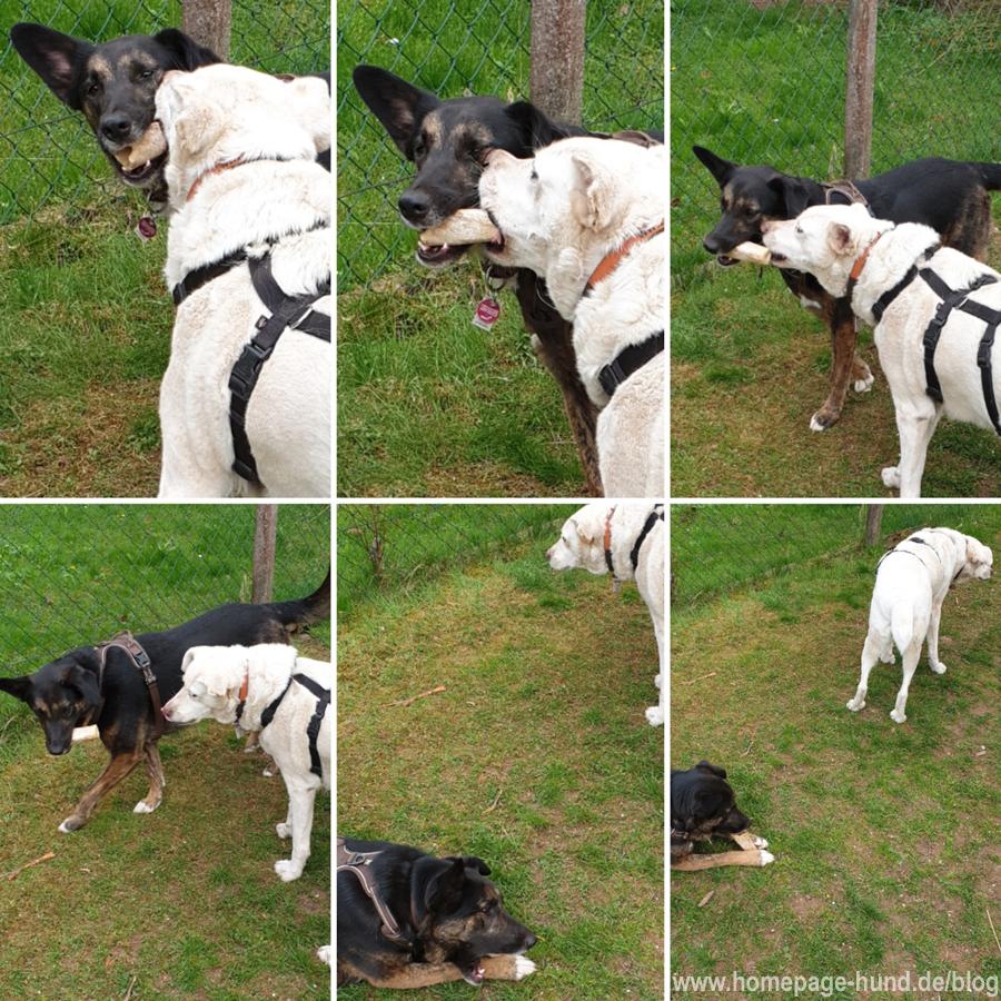 Hunde spielen im Garten