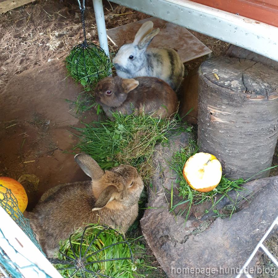 Kaninchen  im Kaninchengehege