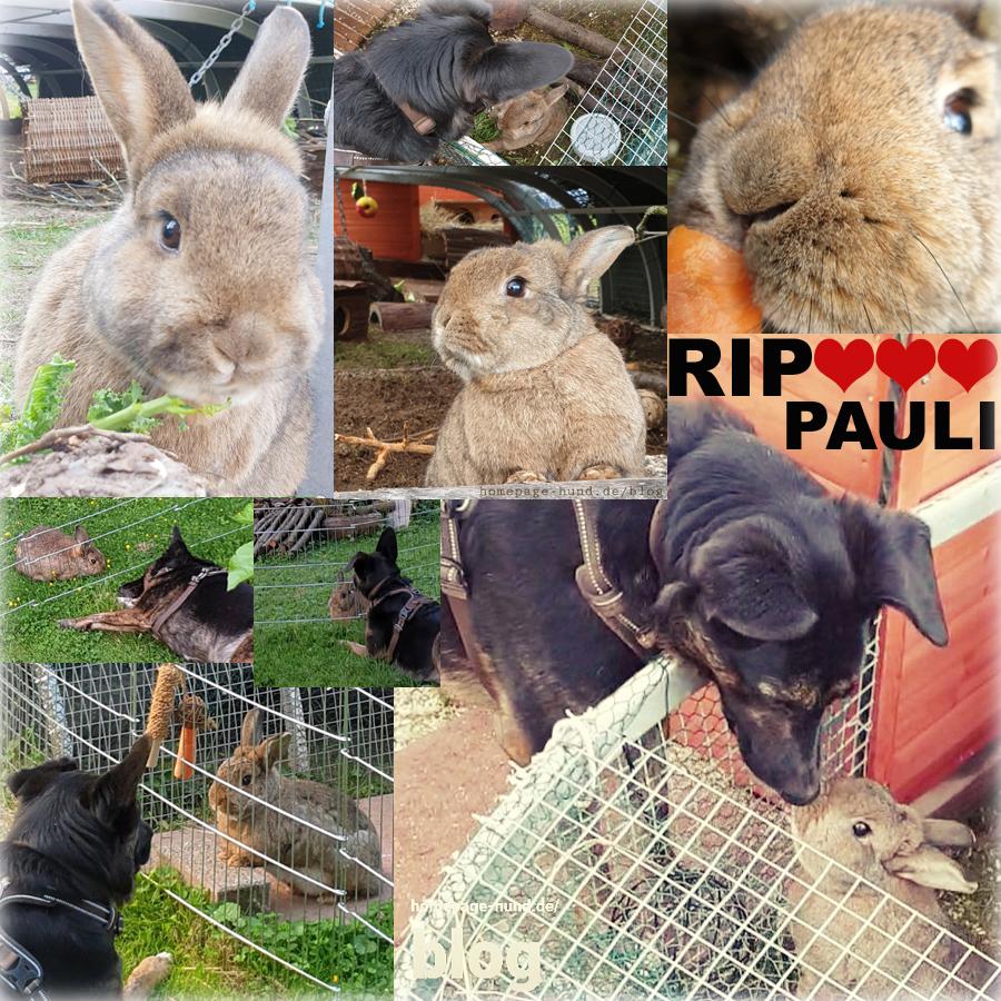 RIP Pauli - Unser lieber Freund Pauli (12), eine richtig coole Socke, ist über die Regenbogenbrücke gehoppelt