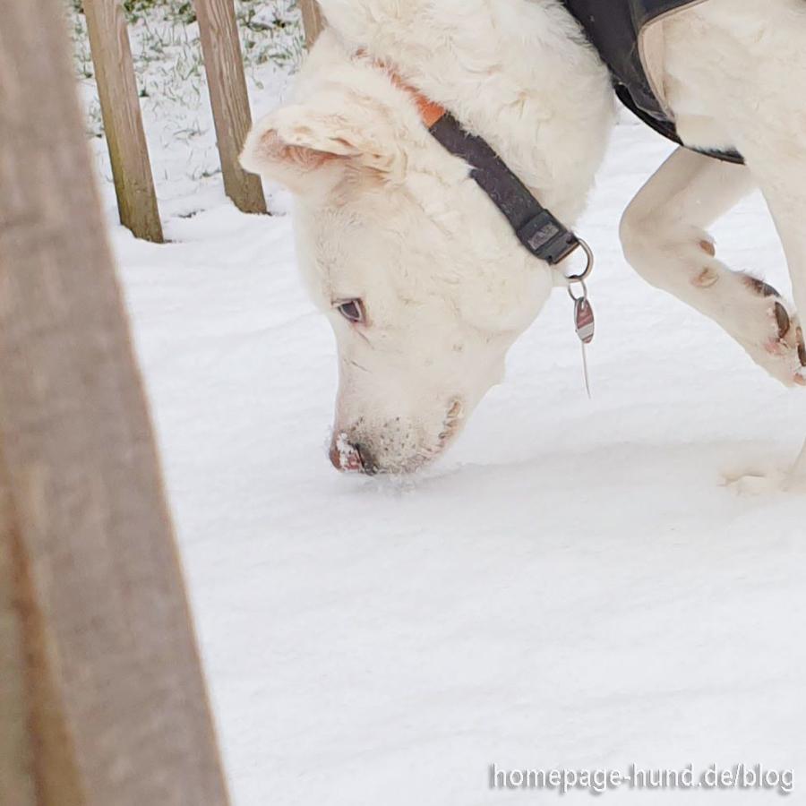 Tierschutzhund Kalli