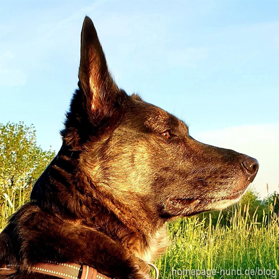 Schäferhund Mix Tierschutzhund