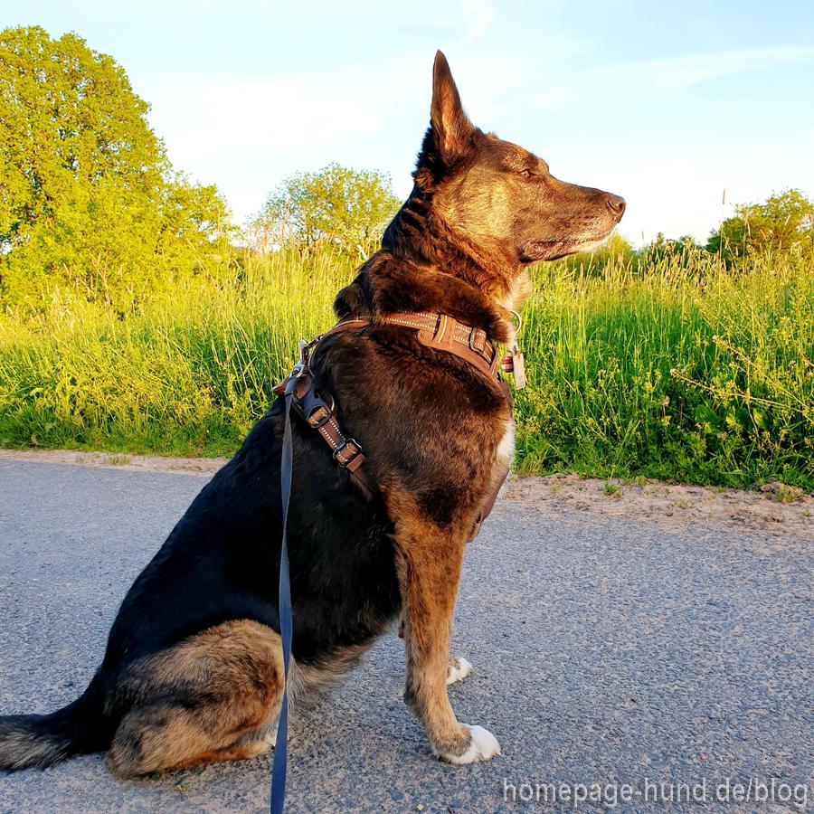 Schäferhund Mix Tierschutz