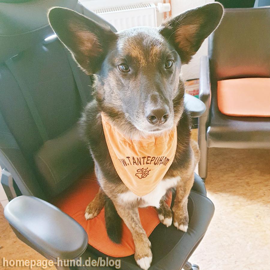 Ich finde, als Bürohund steht mir ein eigener Bürostuhl zu - Frauchen findet das nicht.