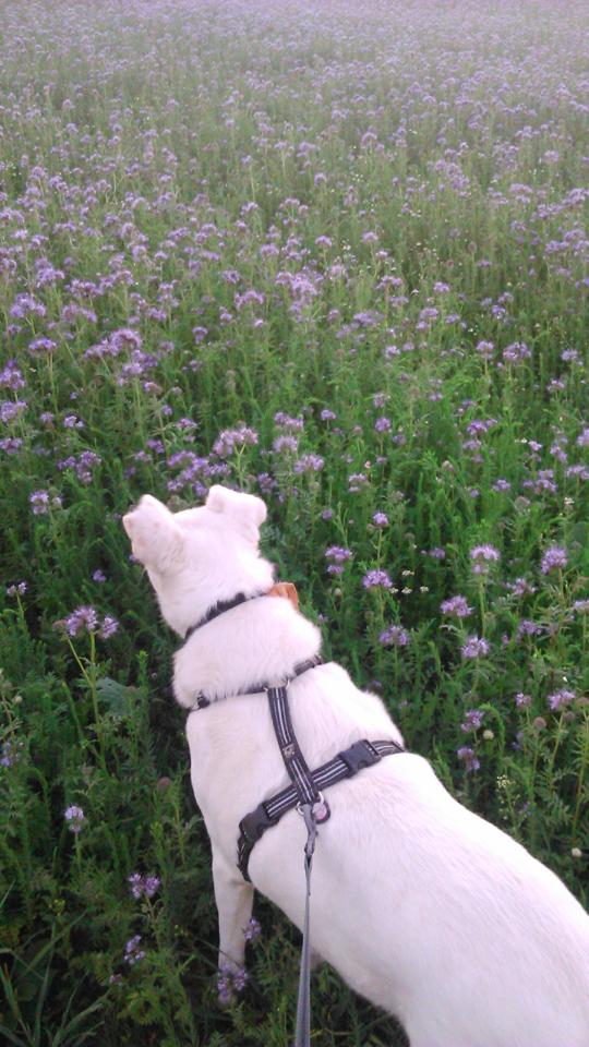 Kalli geht Gassi - Hund im Feld